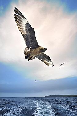 Great Skua (Catharacta skua) flying behind ferry, Shetland Islands, Scotland