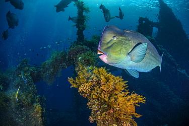 Bumphead Parrotfish (Bolbometopon muricatum), Indonesia