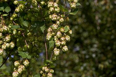 Hops (Humulus lupulus), Denmark