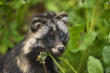 Raccoon Dog (Nyctereutes procyonoides), Sweden