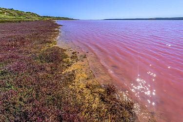Cyanobacterium (Halobacterium salinarum) and algae (Dunalella sailina) that produce protecitve pigments against UV damage causes pink color in lake, Kalbarri, Western Australia, Australia