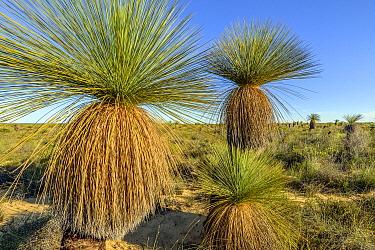 Grass Tree (Xanthorrhoea drummondii) stand, Kalbarri National Park, Western Australia, Australia