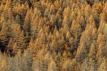 European Larch (Larix decidua) trees in autumn, Savoie, France