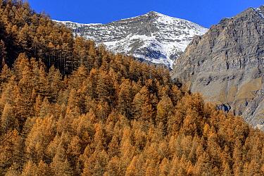 European Larch (Larix decidua) trees in autumn in Valley Averole above Bessans, Savoie, France