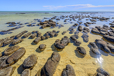 Stromatolites at low tide, colonies of blue-green algae, the oldest life form that still exists today Fossils dated to over three billion years ago, Shark Bay, Western Australia, Australia