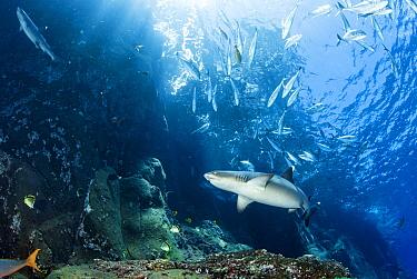 White-tip Reef Shark (Triaenodon obesus) pair, Socorro Island, Mexico