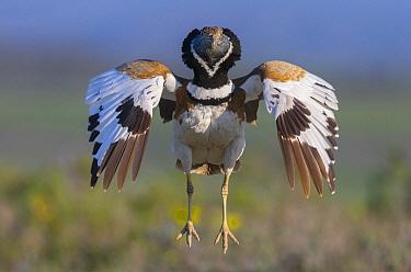 Little Bustard (Tetrax tetrax) male in courtship display, Spain