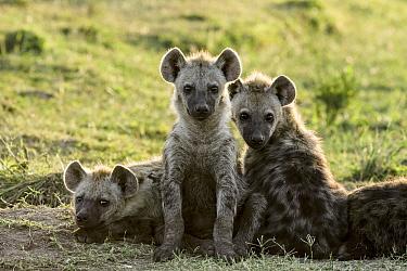 Spotted Hyena (Crocuta crocuta) pups, Masai Mara, Kenya