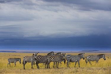Grant's Zebra (Equus burchellii boehmi) herd in savanna, Masai Mara, Kenya
