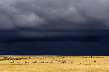 Grant's Zebra (Equus burchellii boehmi) herd in savanna near storm, Masai Mara, Kenya
