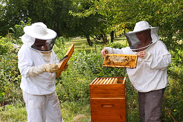 Beekeepers inspecting comb, Normandy, France