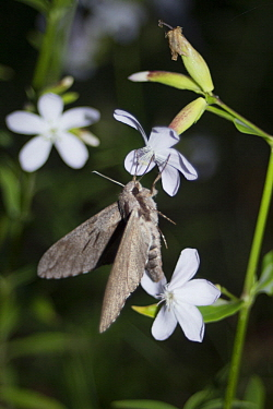 Convolvulus Hawk-moth (Agrius convolvuli) feeding on nectar, Europe