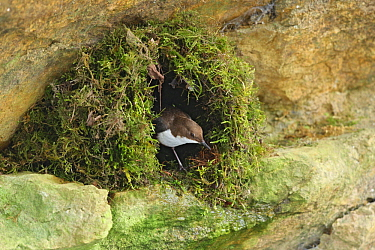 White-throated Dipper (Cinclus cinclus) in nest along river, Vaud, Switzerland