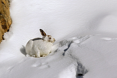 Mountain Hare (Lepus timidus) transitioning from summer to winter coat, Alps, Switzerland