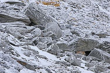 Mountain Hare (Lepus timidus) in boulder field in winter, Alps, Switzerland