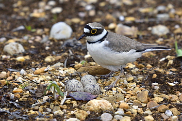 Little Ringed Plover (Charadrius dubius) at nest with eggs, France