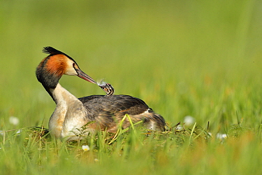 Great Crested Grebe (Podiceps cristatus) parent giving feather to chick on nest, France