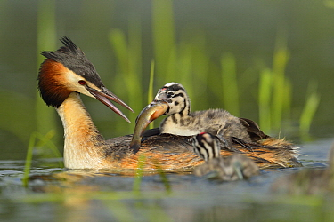 Great Crested Grebe (Podiceps cristatus) parent feeding fish to chick, France
