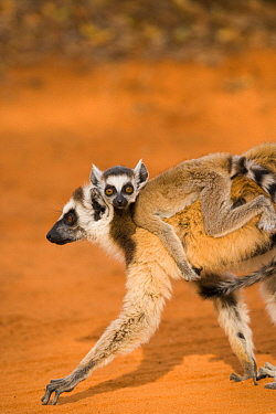 Ring-tailed Lemur (Lemur catta) mother carrying young, Berenty Reserve, Madagascar