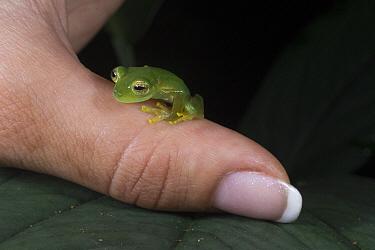 Emerald Glass Frog (Centrolene prosoblepon) on finger, Omar Torrijos National Park, Panama