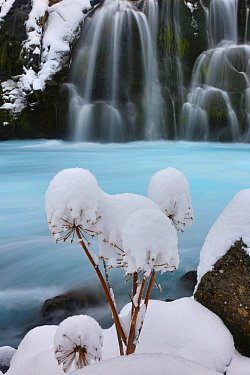 Giant Hogweed (Heracleum mantegazzianum) inflorescence with snow, near waterfall, Iceland