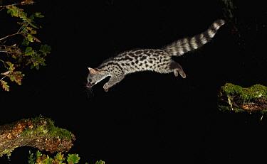 Small-spotted Genet (Genetta genetta) jumping at night, Spain