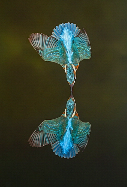 Common Kingfisher (Alcedo atthis) diving, Salamanca, Spain