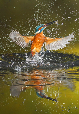 Common Kingfisher (Alcedo atthis) emerging from water with fish prey, Salamanca, Spain