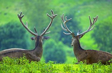 Red Deer (Cervus elaphus) stags, Spain