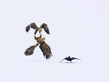 White-tailed Eagle (Haliaeetus albicilla) pair fighting near Common Raven (Corvus corax), Lapland, Finland