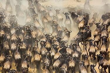 Blue Wildebeest (Connochaetes taurinus) herd migrating, Masai Mara, Kenya