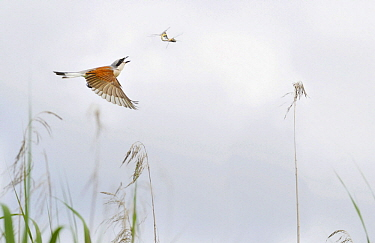 Red-backed Shrike (Lanius collurio) predating on mating dragonflies, Northern Vosges Regional Nature Park, France