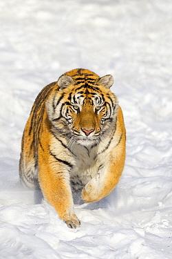 Siberian Tiger (Panthera tigris altaica) running in snow, Siberian Tiger Park, Harbin, China