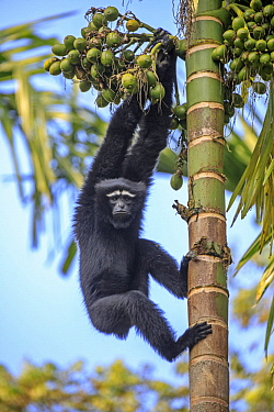 Hoolock Gibbon (Bunopithecus hoolock) male, Gumti Wildlife Sanctuary, India