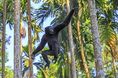 Hoolock Gibbon (Bunopithecus hoolock) male jumping between trees, Gumti Wildlife Sanctuary, India