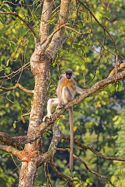 Capped Langur (Trachypithecus pileatus), Trishna Wildlife Sanctuary, India