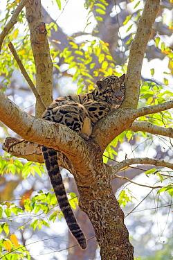 Clouded Leopard (Neofelis nebulosa) resting in tree, Trishna Wildlife Sanctuary, India