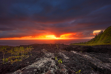 Plants growing out of volcanic rock at Grand Brule, Reunion Island, Indian Ocean