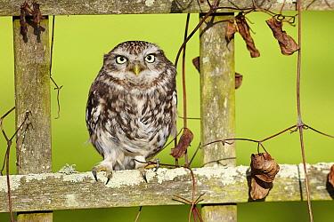 Little Owl (Athene noctua) perching on lattice, France