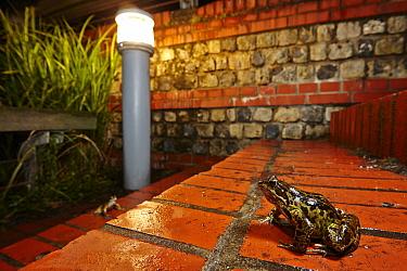 Common Frog (Rana temporaria) in backyard at night, France