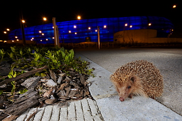 Brown-breasted Hedgehog (Erinaceus europaeus) in alley at night, France