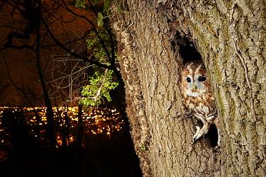 Tawny Owl (Strix aluco) near city at night, France