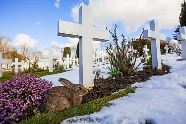 European Rabbit (Oryctolagus cuniculus) in cemetery, France