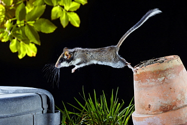 Garden Dormouse (Eliomys quercinus) jumping from flower pot at night, France