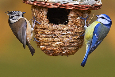 Crested Tit (Lophophanes cristatus) and Blue Tit (Cyanistes caeruleus) in garden, Normandy, France