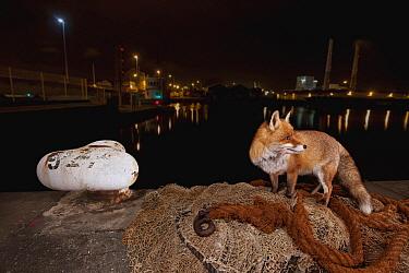 Red Fox (Vulpes vulpes) in harbor at night, France