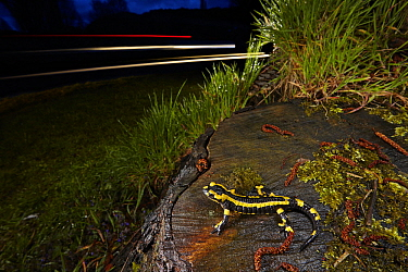 Fire Salamander (Salamandra salamandra) near road at night, France
