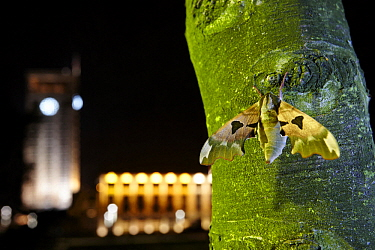 Lime Hawk Moth (Mimas tiliae) in city at night, France