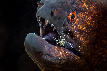 Yellow-edged Moray (Gymnothorax flavimarginatus) with cleaner shrimp, Reunion Island, Indian Ocean