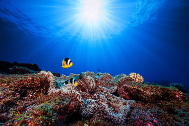 Mauritian Anemonefish (Amphiprion chrysogaster) pair above reef, Reunion Island, Indian Ocean